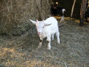 Agriturismo Volpe Golosa - Capretta cucciolo